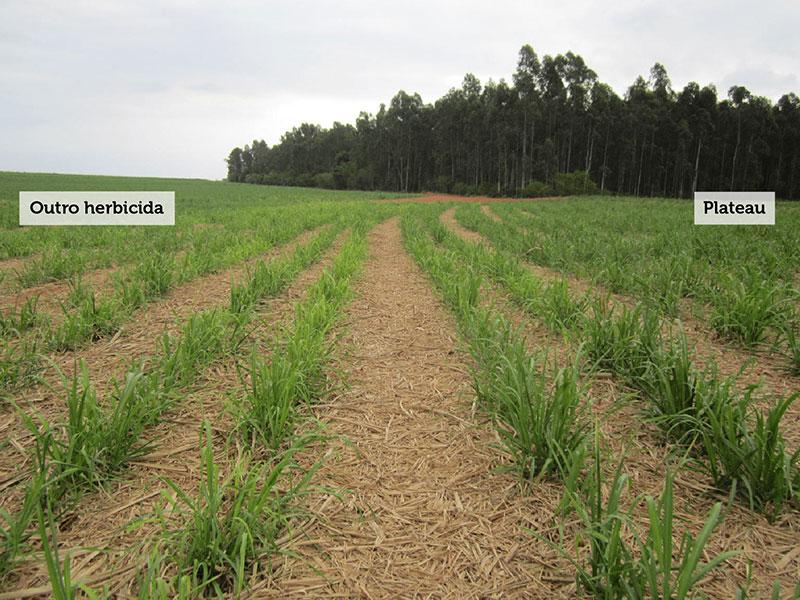 Aplicação de herbicida no canavial no momento certo traz benefícios aos produtores